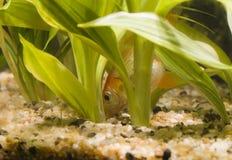Comer 02 do Goldfish Imagem de Stock Royalty Free