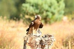 Comer adulto da águia fotografia de stock royalty free
