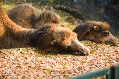 Comer adulto do camelo Fotos de Stock