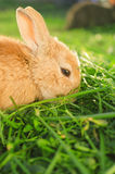 Comer alaranjado com fome do coelho Imagens de Stock