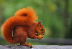 Comer animal vermelho dos animais selvagens dos roedores do esquilo imagem de stock