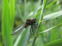 Comer azul da libélula Fotografia de Stock Royalty Free