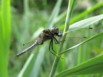 Comer azul da libélula Fotos de Stock