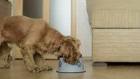 Comer bonito do cão de cocker spaniel do americano filme