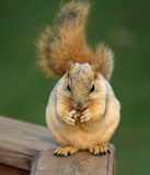 Comer bonito do esquilo Fotos de Stock Royalty Free