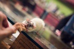Comer bonito do rato imagens de stock