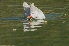 Comer branco do pato Imagens de Stock