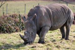Comer branco do rinoceronte Fotografia de Stock Royalty Free