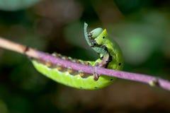 Comer com fome Caterpillar Imagem de Stock