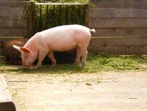 Comer cor-de-rosa feliz do leitão Imagens de Stock Royalty Free