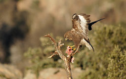 Comer da águia do busardo fotografia de stock royalty free