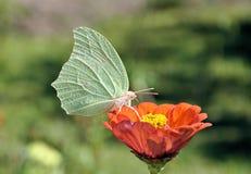 Comer da borboleta Imagens de Stock