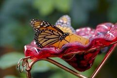 Comer da borboleta fotos de stock