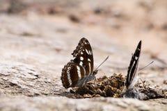 Comer da borboleta Imagem de Stock Royalty Free