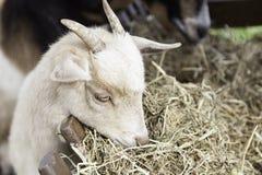 Comer da cabra Imagem de Stock
