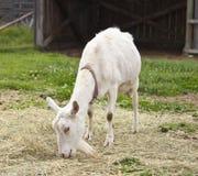 Comer da cabra fêmea Fotos de Stock