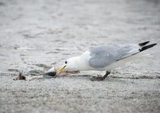 Comer da gaivota Imagem de Stock