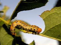 Comer da lagarta Foto de Stock Royalty Free