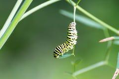 Comer da lagarta de Swallowtail imagens de stock royalty free