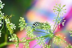 Comer da lagarta de Swallowtail fotos de stock royalty free