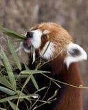 Comer da panda vermelha Fotografia de Stock