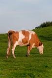 Comer da vaca Imagens de Stock Royalty Free