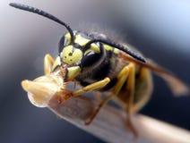 Comer da vespa Imagens de Stock Royalty Free