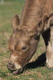 Comer da vitela Foto de Stock