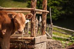 Comer da vitela Imagens de Stock