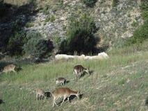 Comer das cabras de montanha Fotografia de Stock