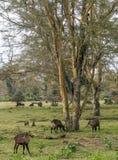 Comer das impalas imagens de stock