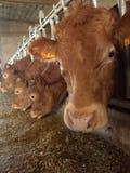 Comer das vacas Imagens de Stock