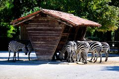 Comer das zebras Fotografia de Stock
