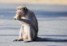Comer de assento 3 do macaco insolente imagens de stock royalty free