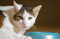 Comer de cabelos curtos do gato imagens de stock