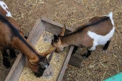 Comer de duas cabras imagens de stock
