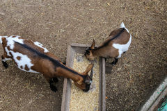Comer de duas cabras fotos de stock