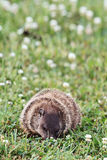 Comer de Groundhog Foto de Stock