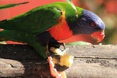 Comer de Lorikeet do arco-íris Fotografia de Stock Royalty Free