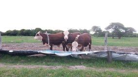Comer de três vitelas fotografia de stock