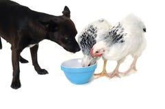 Comer do cão e da galinha de filhote de cachorro Fotografia de Stock