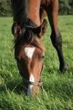 Comer do cavalo Foto de Stock Royalty Free