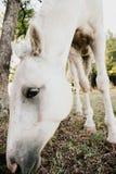 Comer do cavalo Foto de Stock