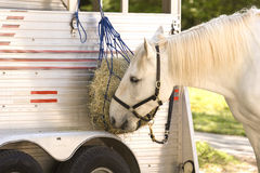Comer do cavalo branco Fotografia de Stock Royalty Free