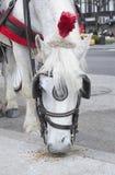 Comer do cavalo branco Foto de Stock