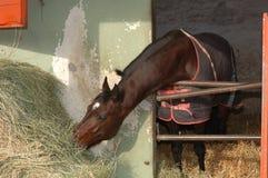 Comer do cavalo do puro-sangue Fotos de Stock