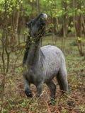 Comer do cavalo selvagem imagem de stock