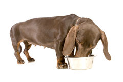 Comer do Dachshund Foto de Stock