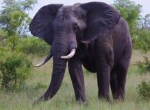 Comer do elefante Imagem de Stock