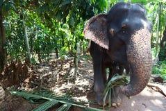 Comer do elefante Imagens de Stock Royalty Free